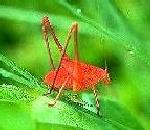 Picture of Katydid